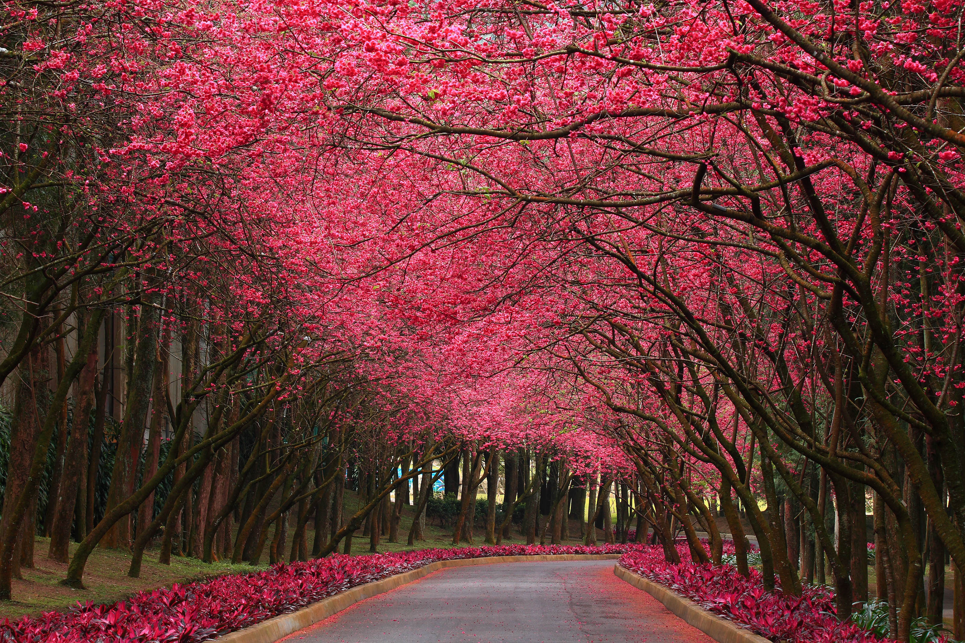 Pink nature wallpaper in hd with flowering trees in pink hd available downloads mightylinksfo