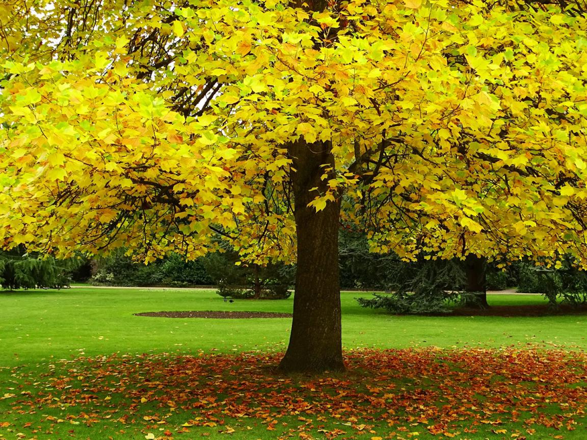 High Resolution Fall Wallpaper: Autumn HD Wallpaper With Yellow Leaves Tree