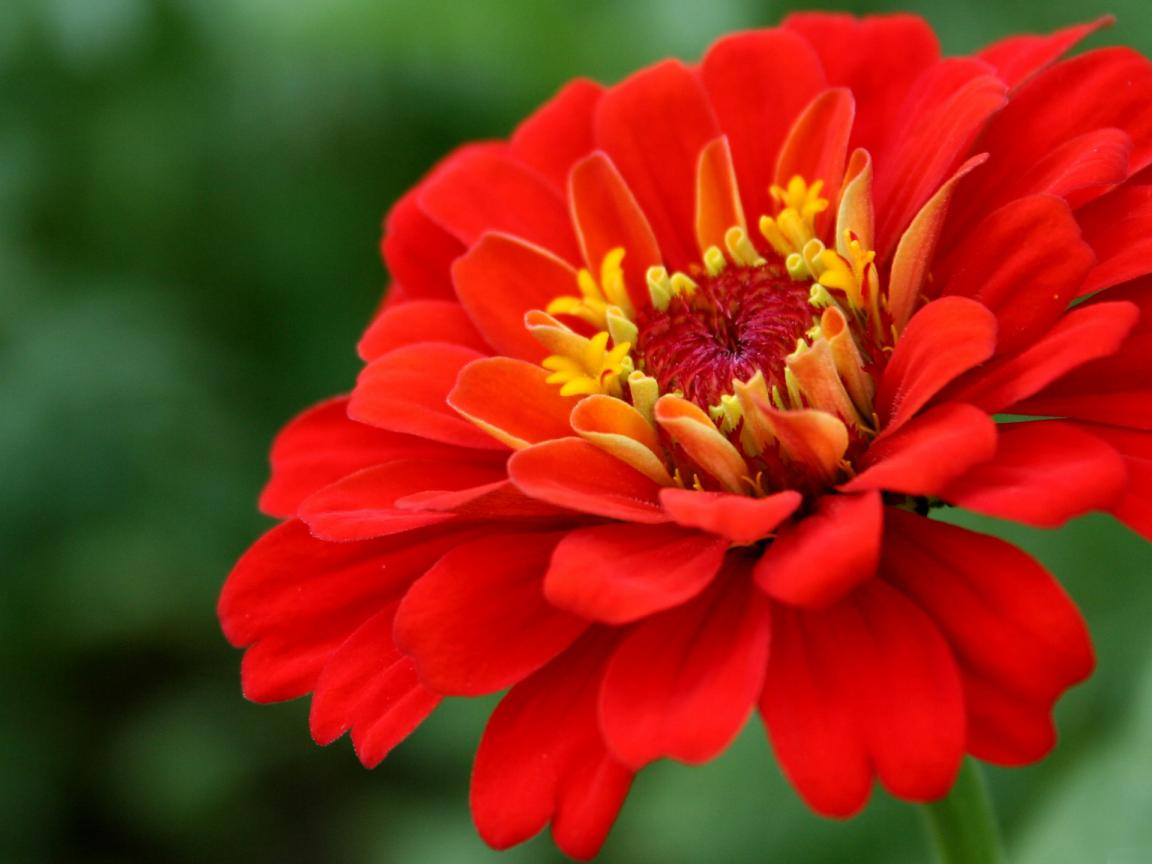 High Resolution Picture Of Red Zinnia Flower Hd