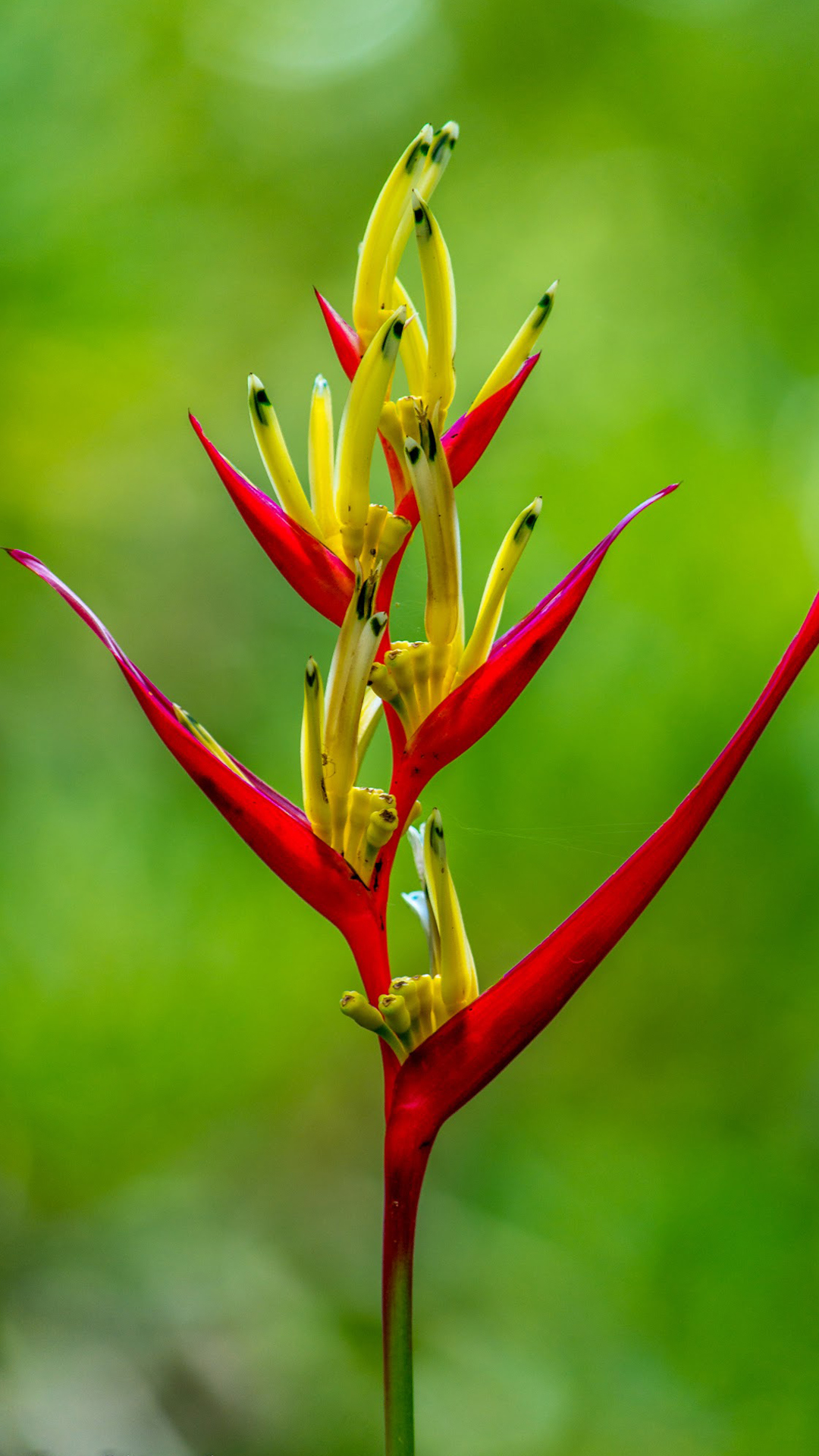 Hd wallpaper for android 5 5 inch -  Free Download Wallpaper For 5 Inch Screen Android Phones With Heliconia Flower