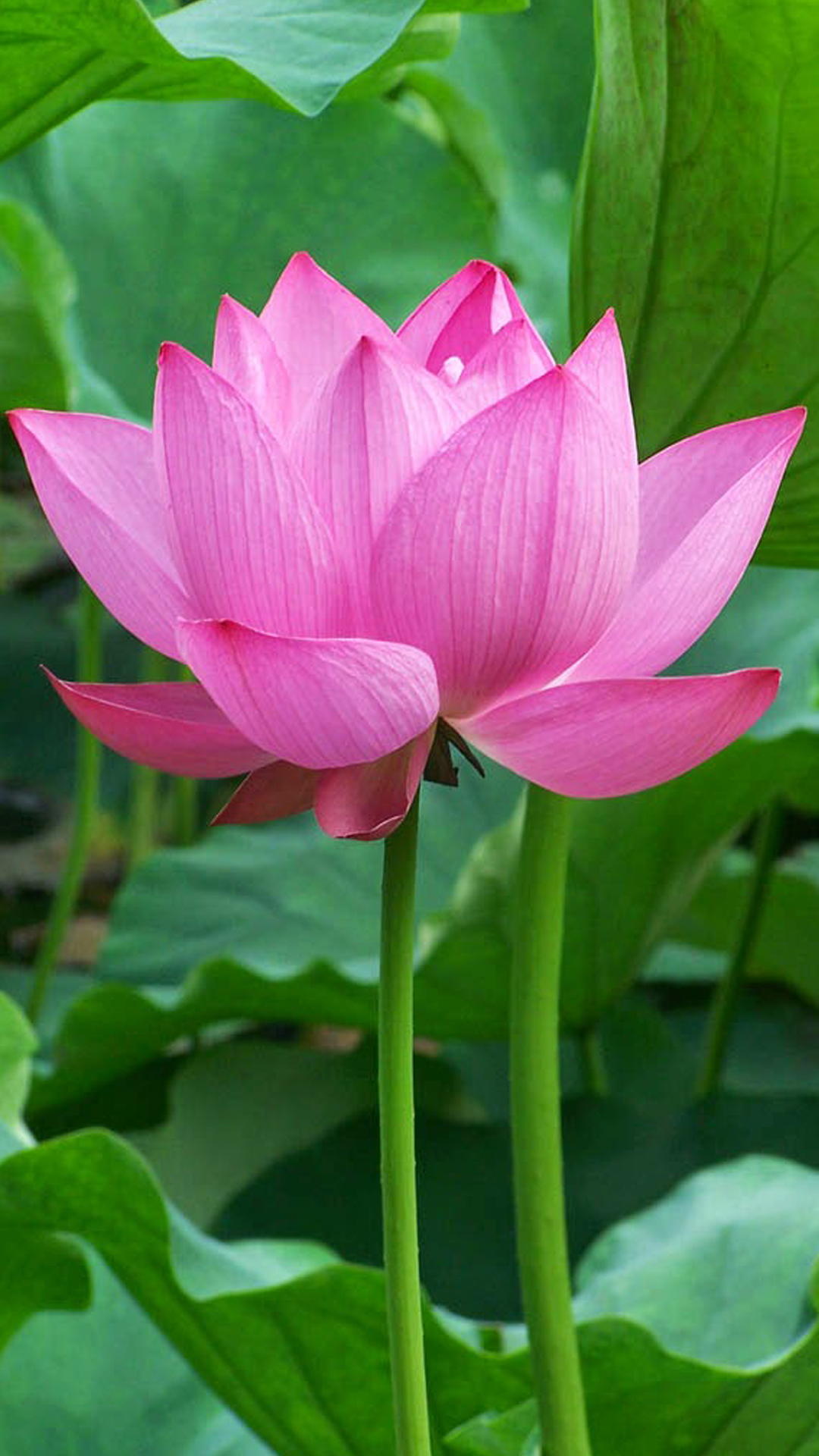 Beautiful Lotus Flower High Resolution Wallpaper Hd Wallpapers