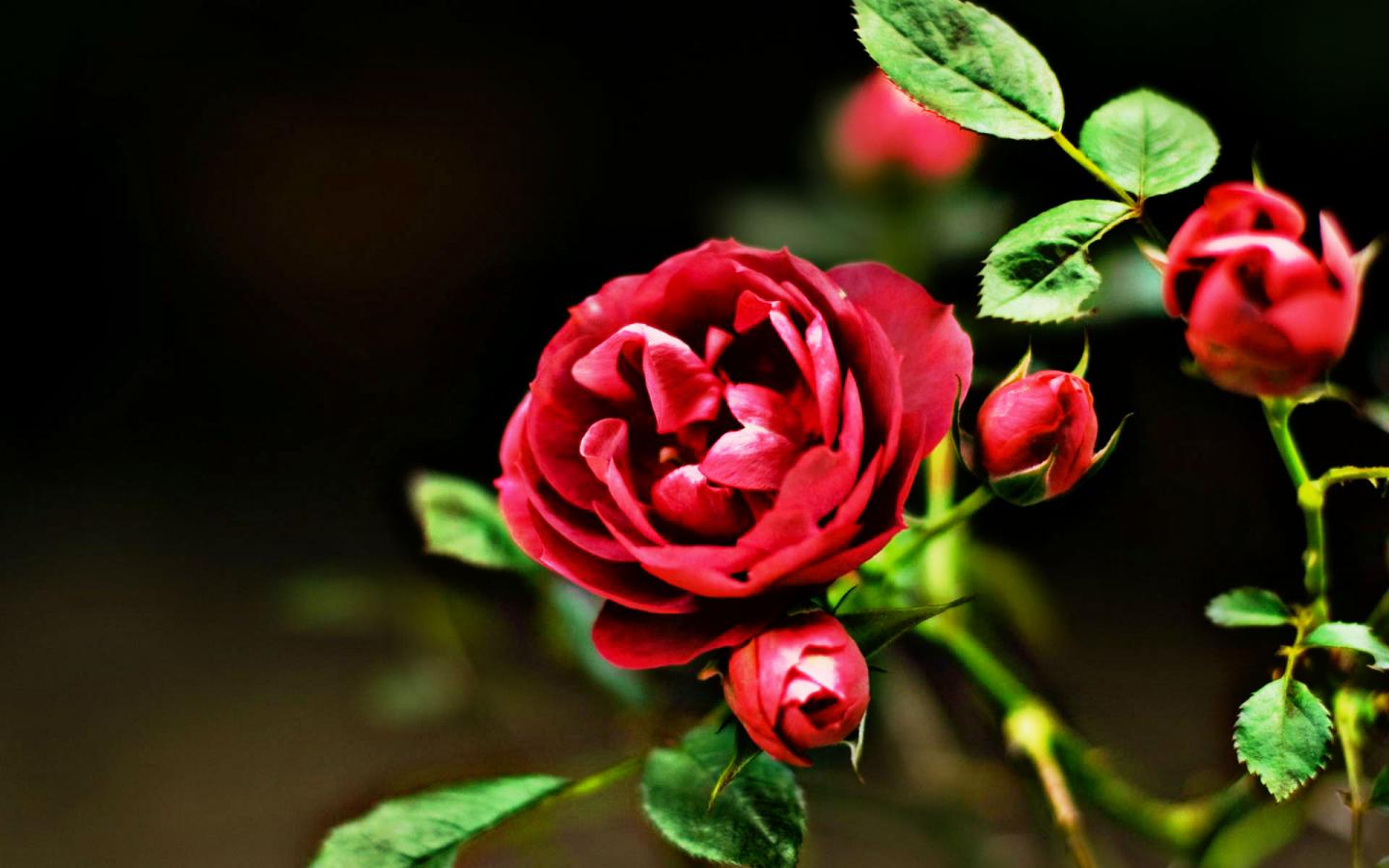 Red Flowers HD Nature Wallpaper With Rose Picture