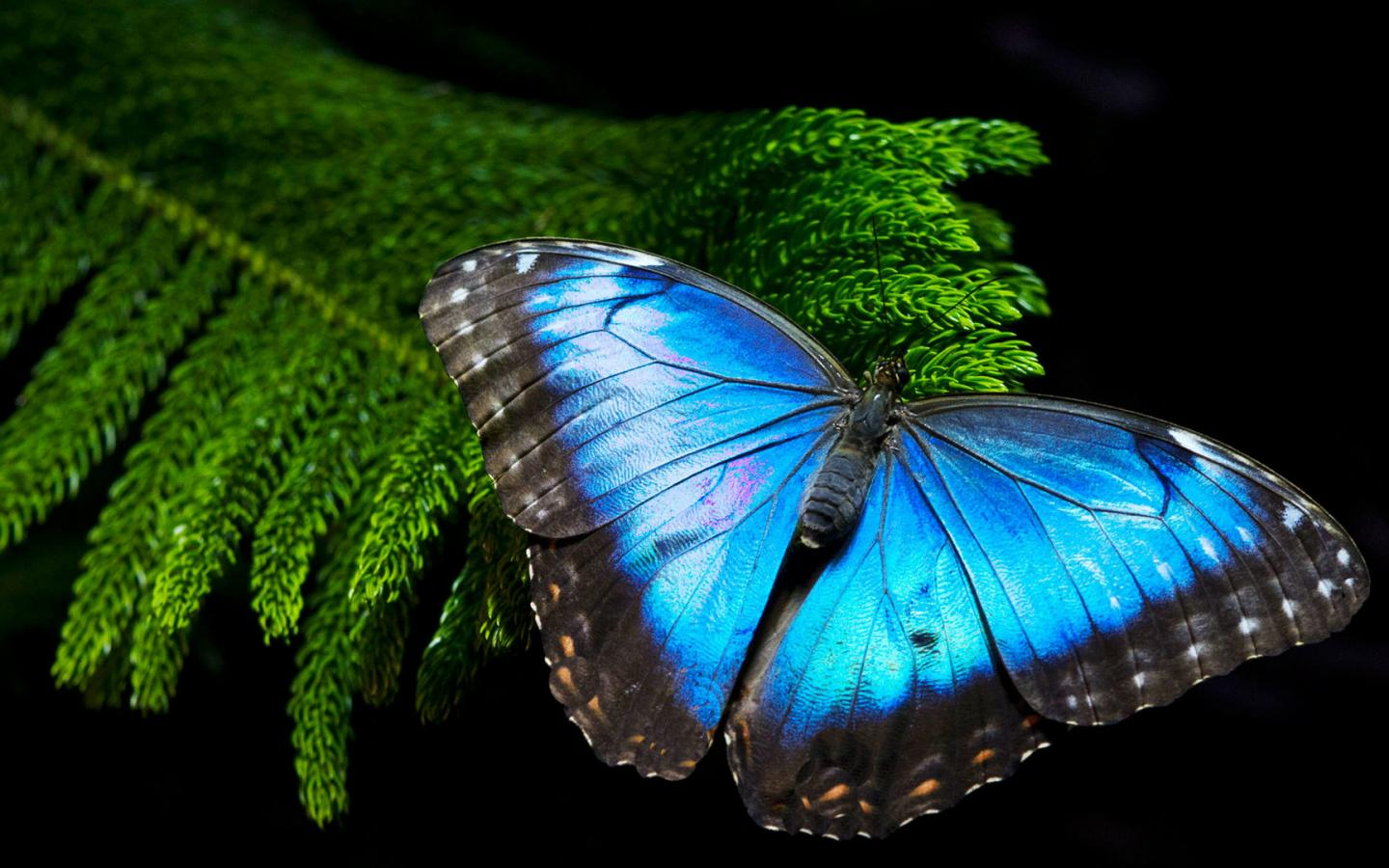 Purple Wallpaper Butterfly