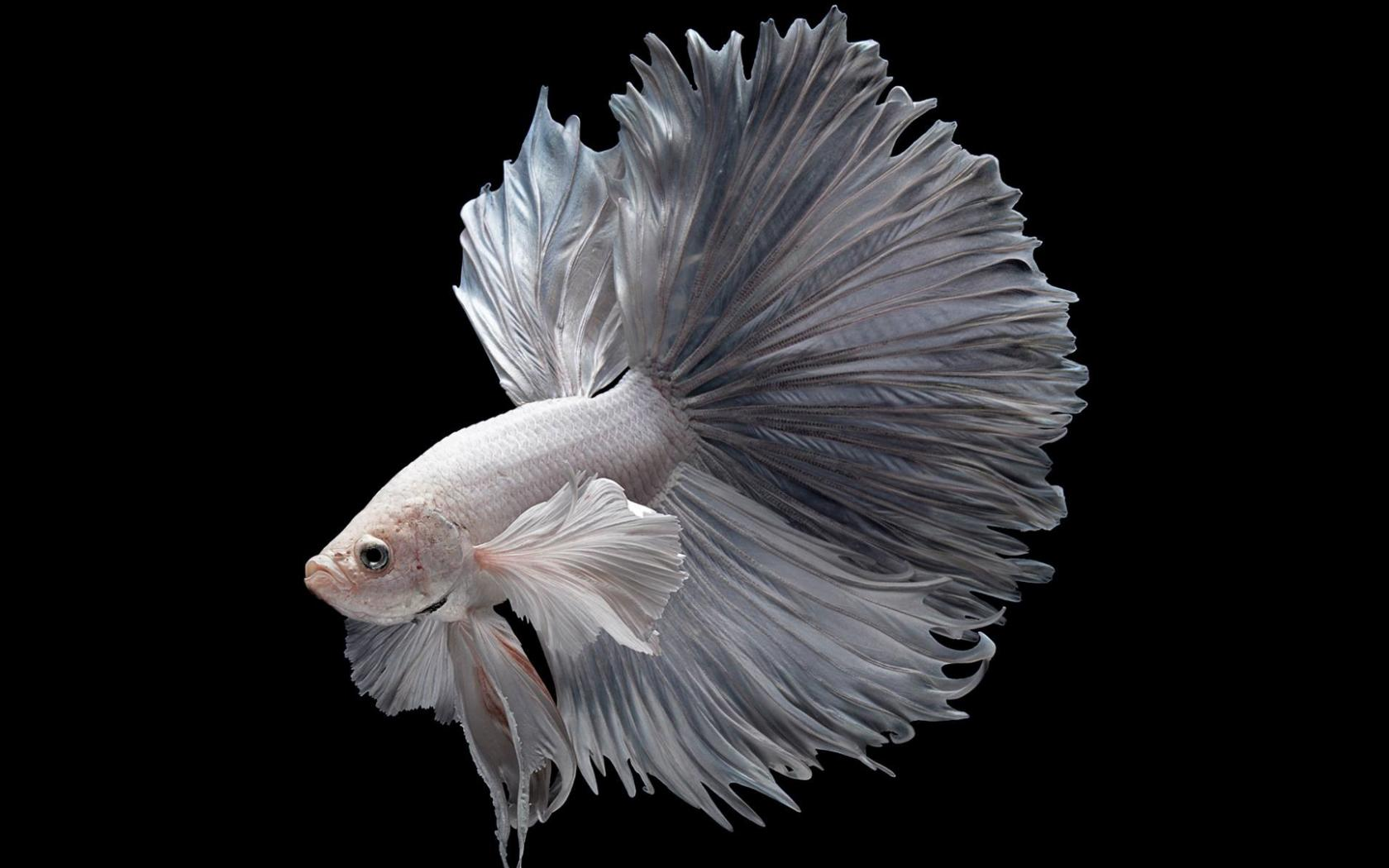 Albino Betta Fish Picture 2 Of 20 In Hd With 1920x1080 Hd Wallpapers Wallpapers Download