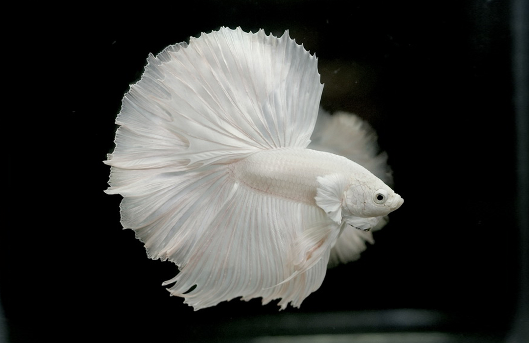 albino betta fish picture 8 of 20 - solid white halfmoon