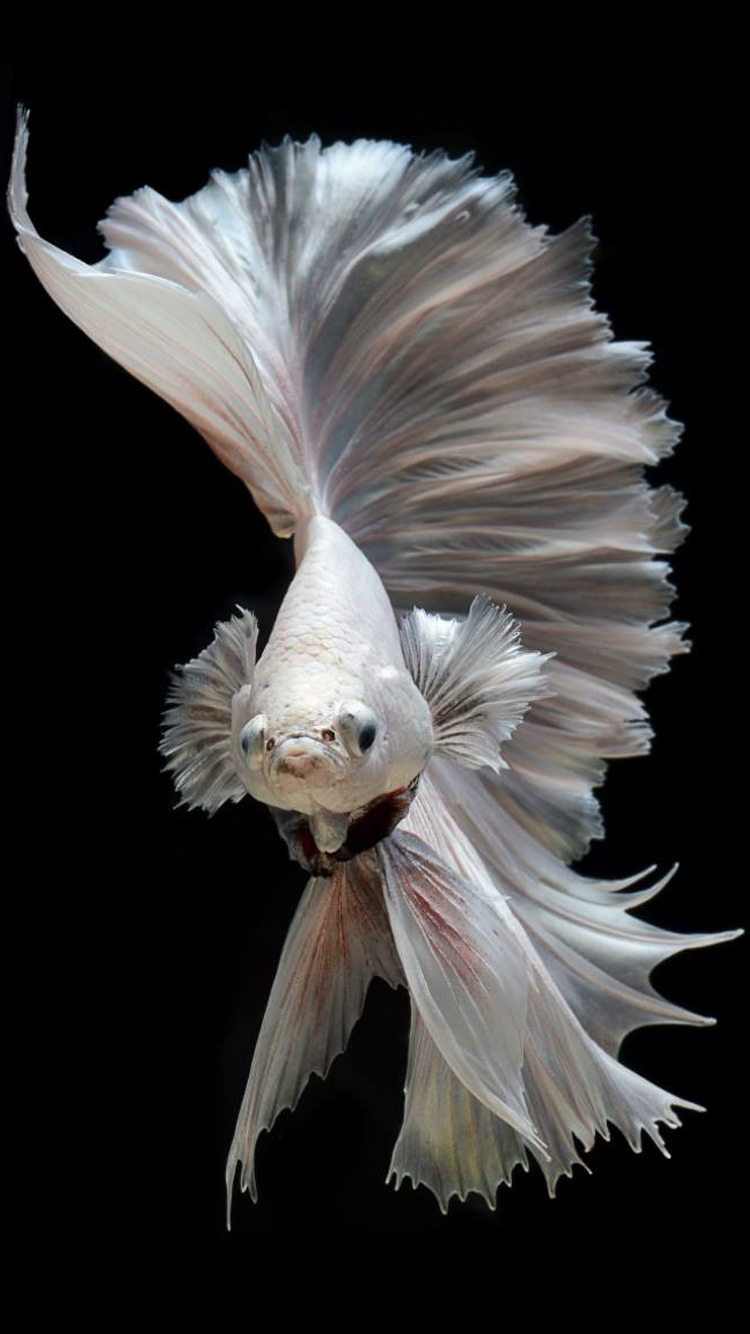 Free Wallpaper for iPhone 7 with Albino Betta Fish Picture ...