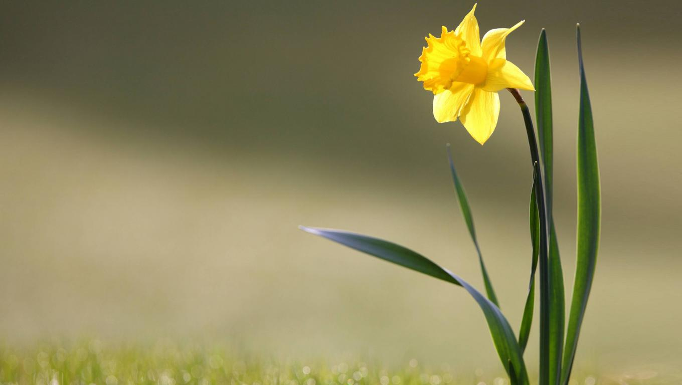 daffodils flower as tree with tulip like flowers   hd