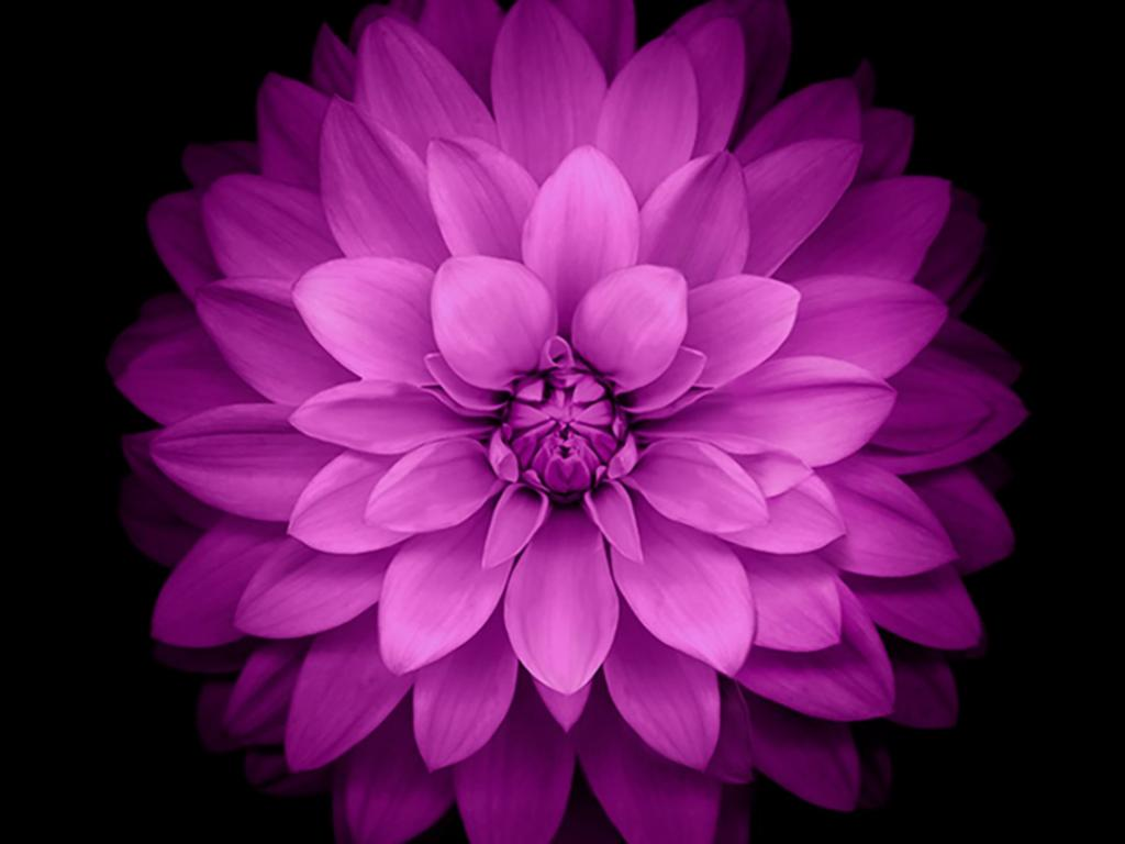 Iphone 6 plus wallpaper official purple lotus flower hd available downloads izmirmasajfo Gallery