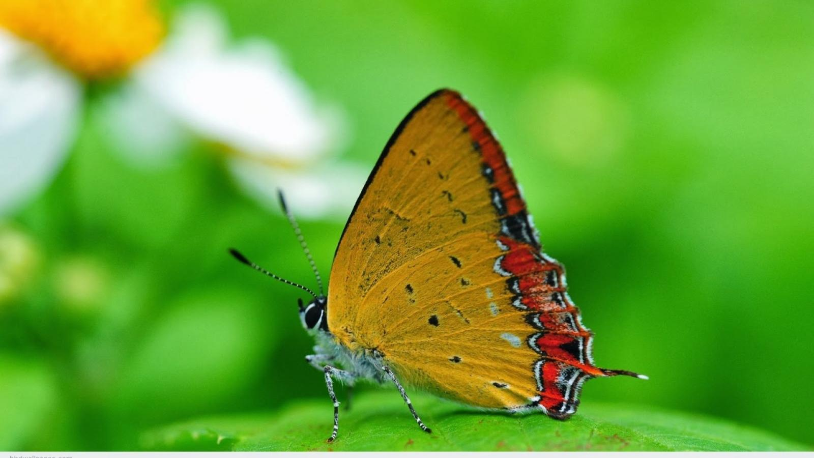 Butterflies Wallpapers Hd Download: Full HD Nature Images 1080p Desktop With Macro Photo Of