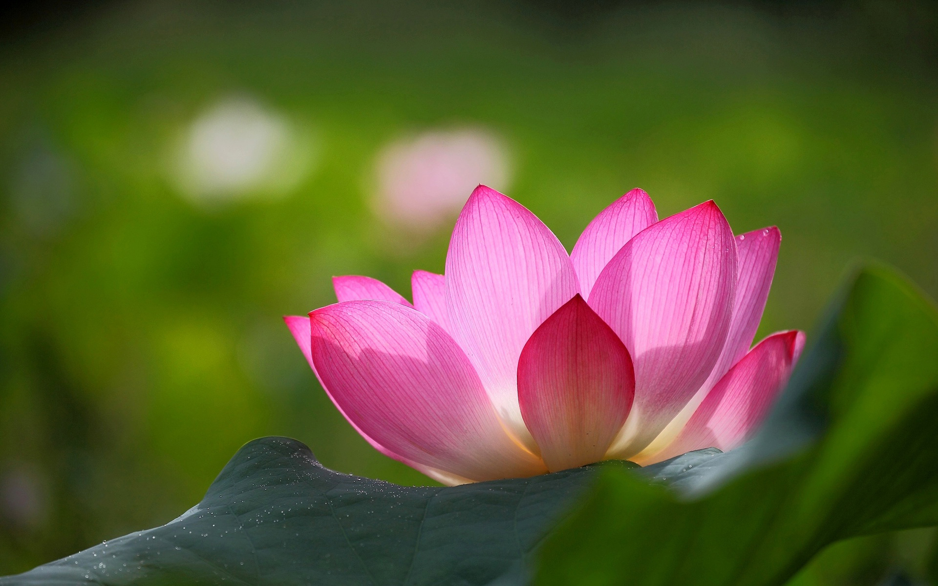 Pink lotus flower wallpaper hd
