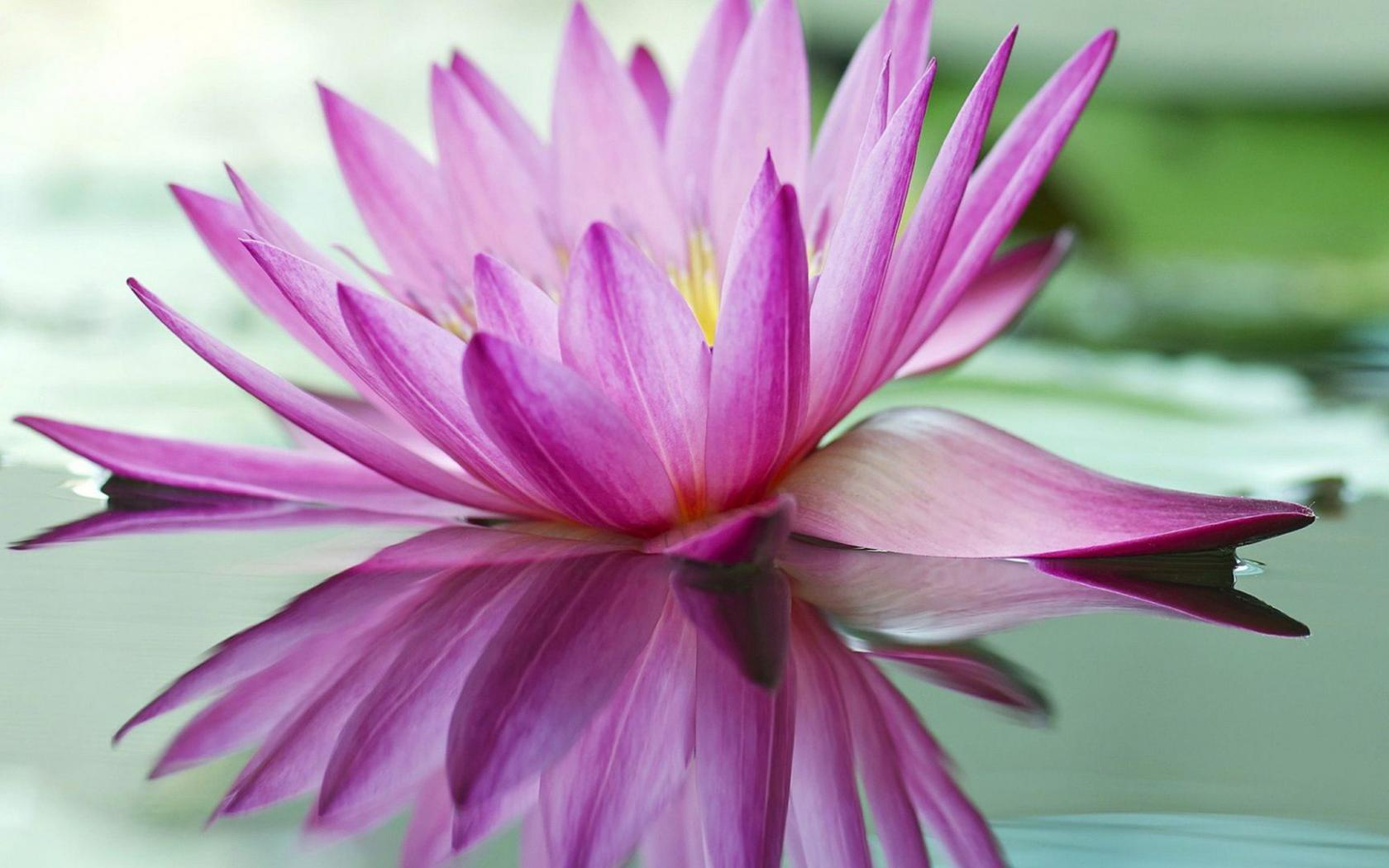 Best pictures of lotus flowers with purple lotus on pond hd some similar wallpaper izmirmasajfo