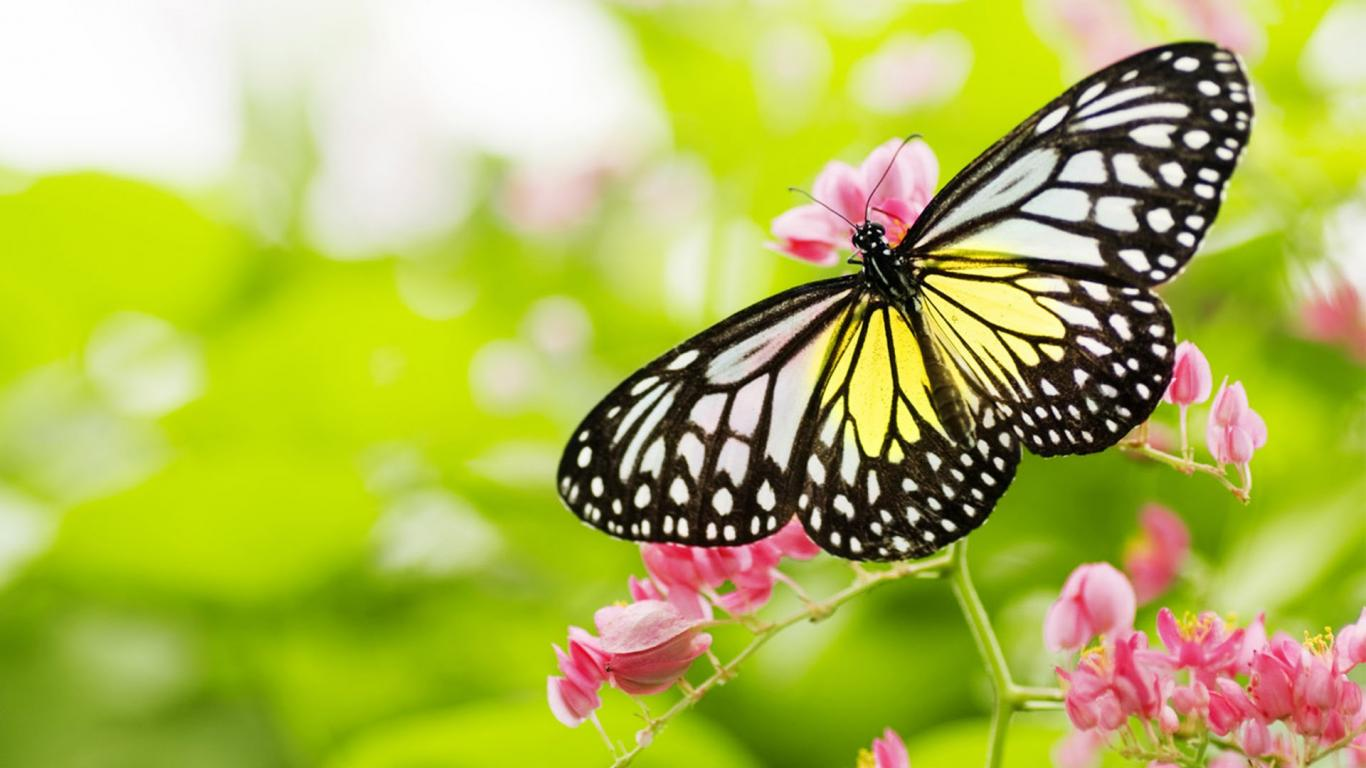 Butterflies Wallpapers Hd Download: Pictures Of Flowers And Butterflies In HD For Desktop