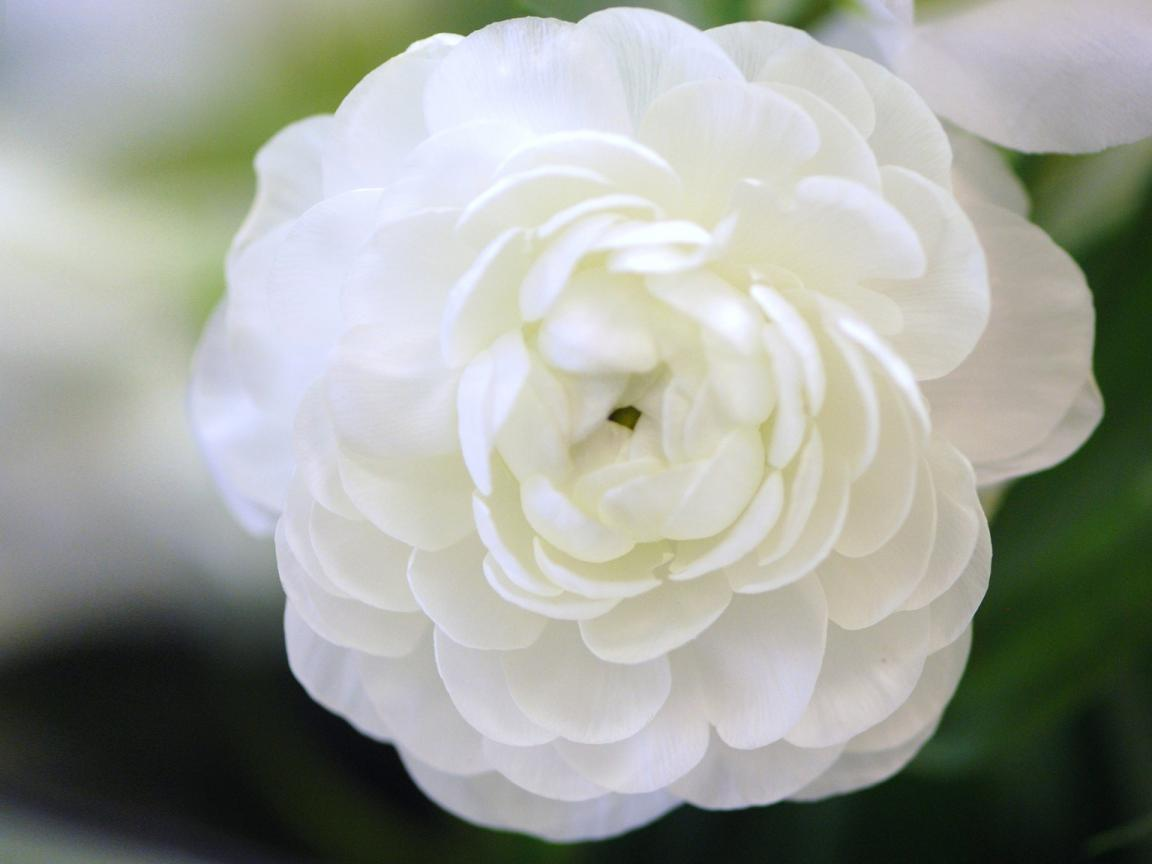 High Resolution Picture of Flower That Looks Like A Rose
