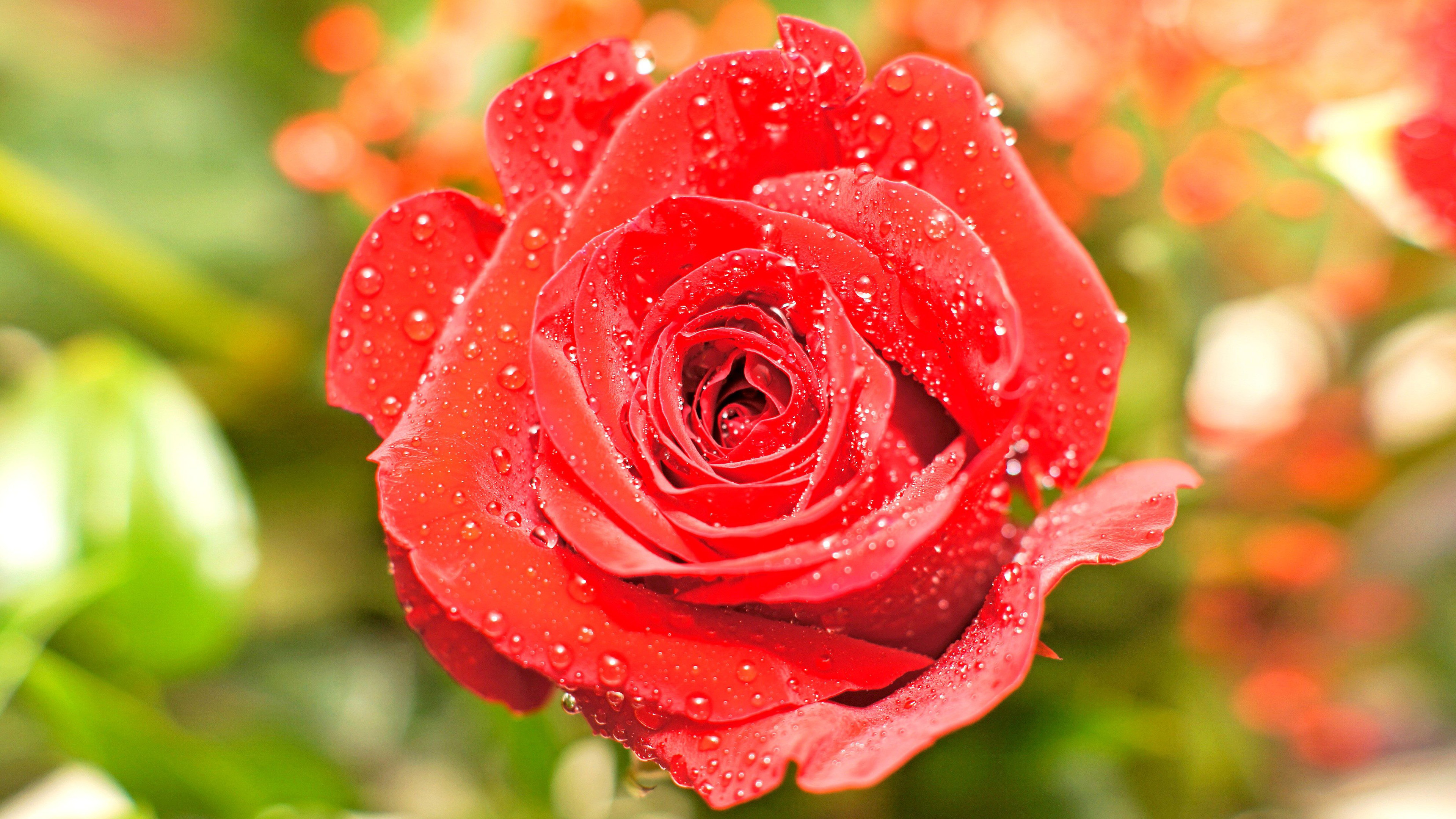 High Resolution Close Up Photo Of Wet Red Rose For