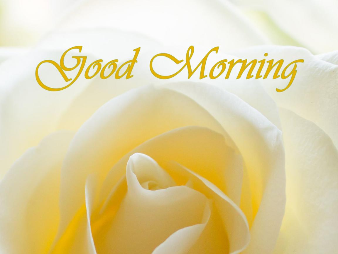 Good Morning Images With White Rose Flower In Close Up