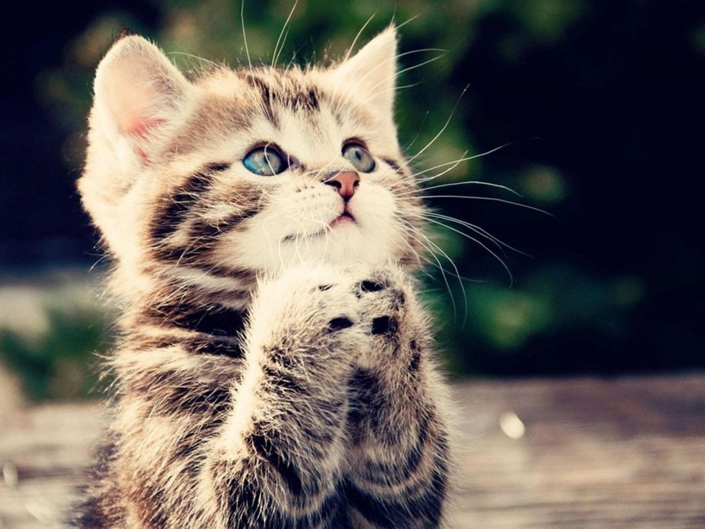 Cute Animals Wallpapers Free Download: Funny Animal Wallpapers Free Download With Praying Kitten