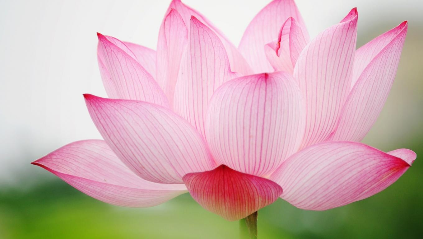 35 High Definition Pink Wallpapers Backgrounds For Free: High Definition Desktop Wallpapers With Pink Lotus Flower