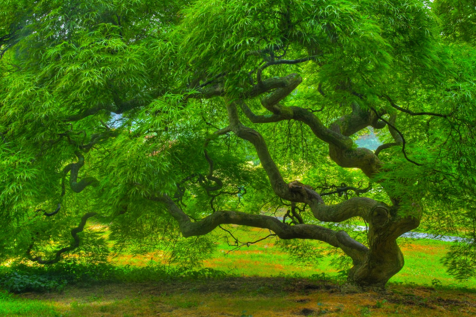 Full Hd Nature Wallpaper With Japanese Maple Tree Hd