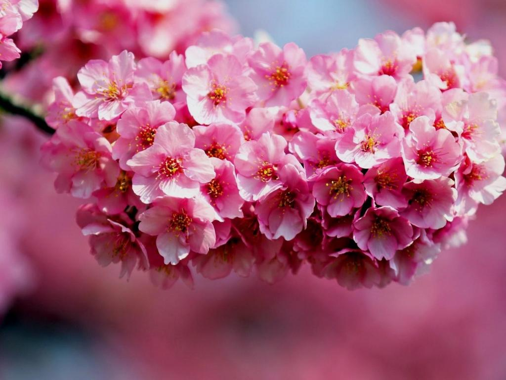 Desktop Background Picture Of Flowers With Cherry Blossoms
