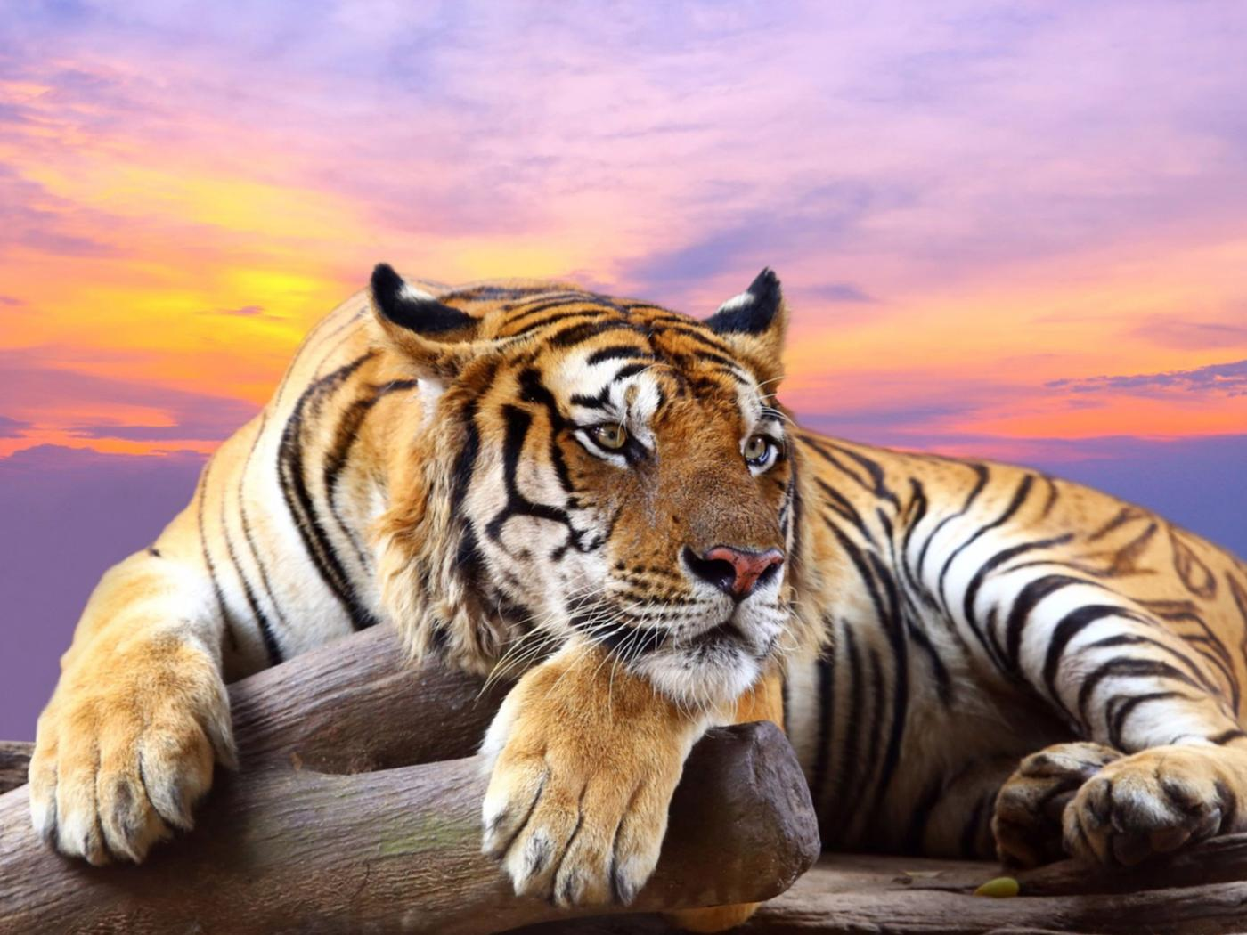high resolution animal wallpaper – tiger in wild | hd wallpapers