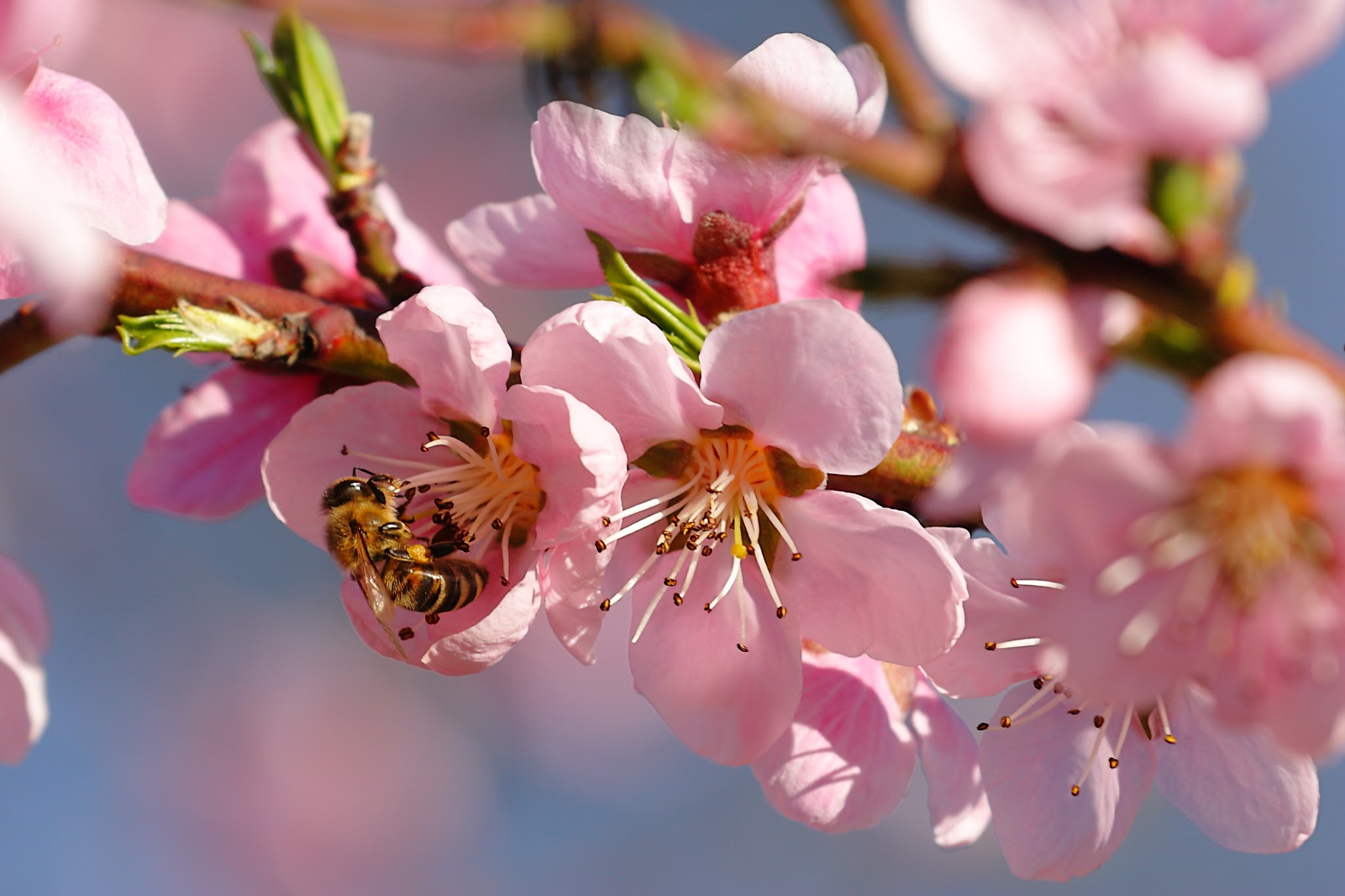 Beautiful Nature Wallpapers With Cherry Blossoms In Spring Season