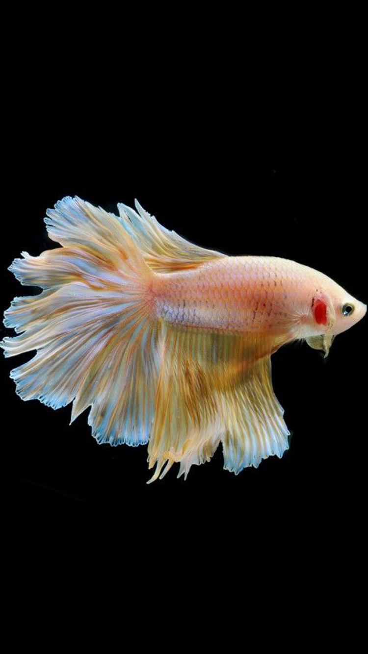 Wallpaper iphone ikan cupang - Apple Iphone 6s Wallpaper With Gold Albino Betta Fish In Black Background