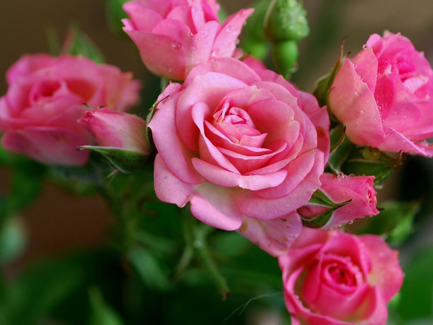 Nature Wallpaper With Pink Rose Flower