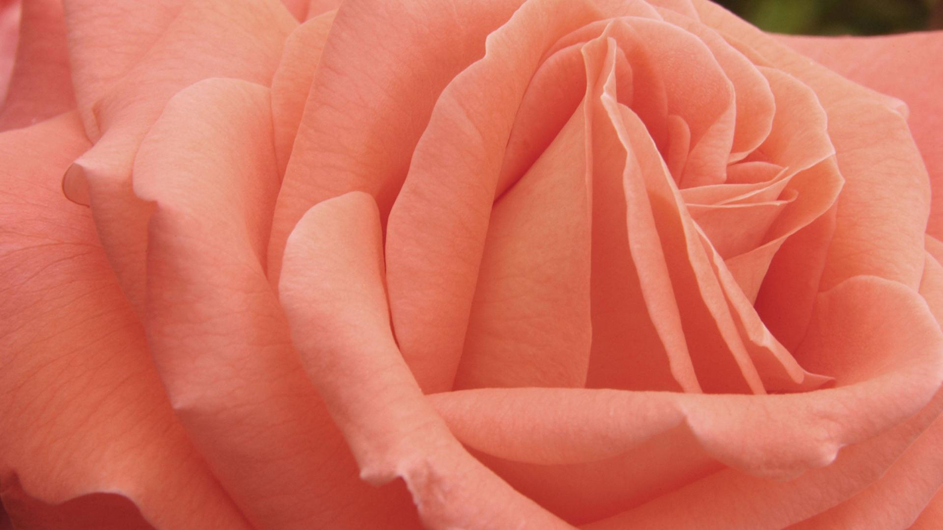 Nature Wallpaper with Peach Colored Rose Flower | HD Wallpapers ...