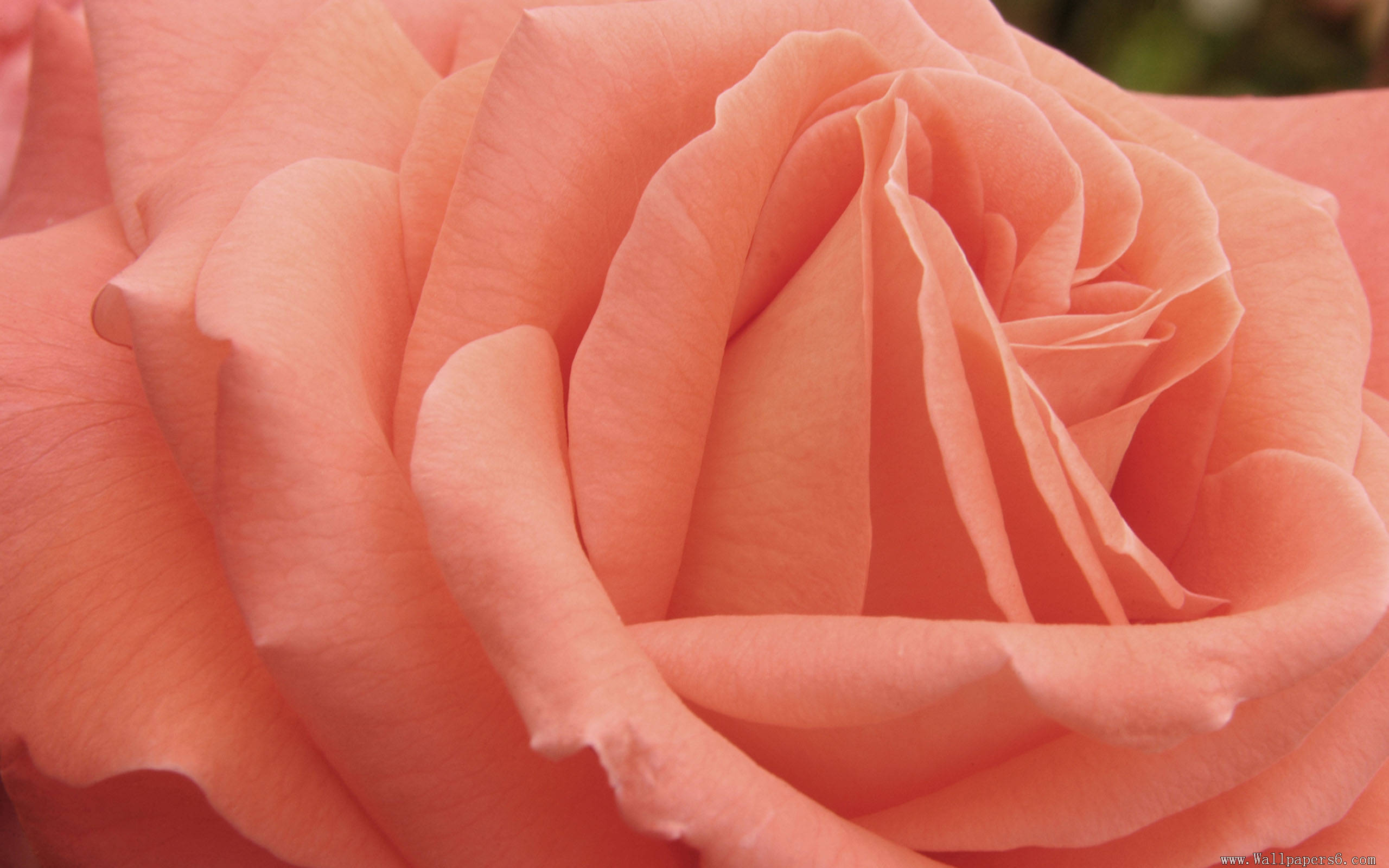 Nature Wallpaper With Peach Colored Rose Flower
