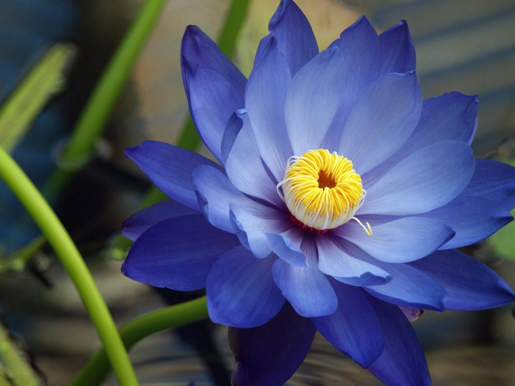 High Resolution Lotus Flower Image With Macro Photography Hd Wallpapers For Free