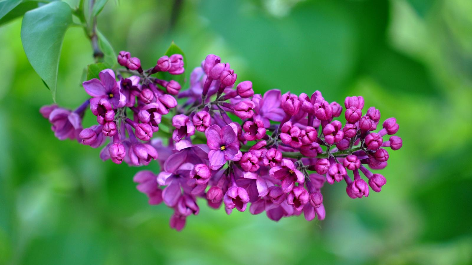 High Resolution Flower Wallpaper: 4K Wallpapers With High Resolution Images Of Purple Lilac