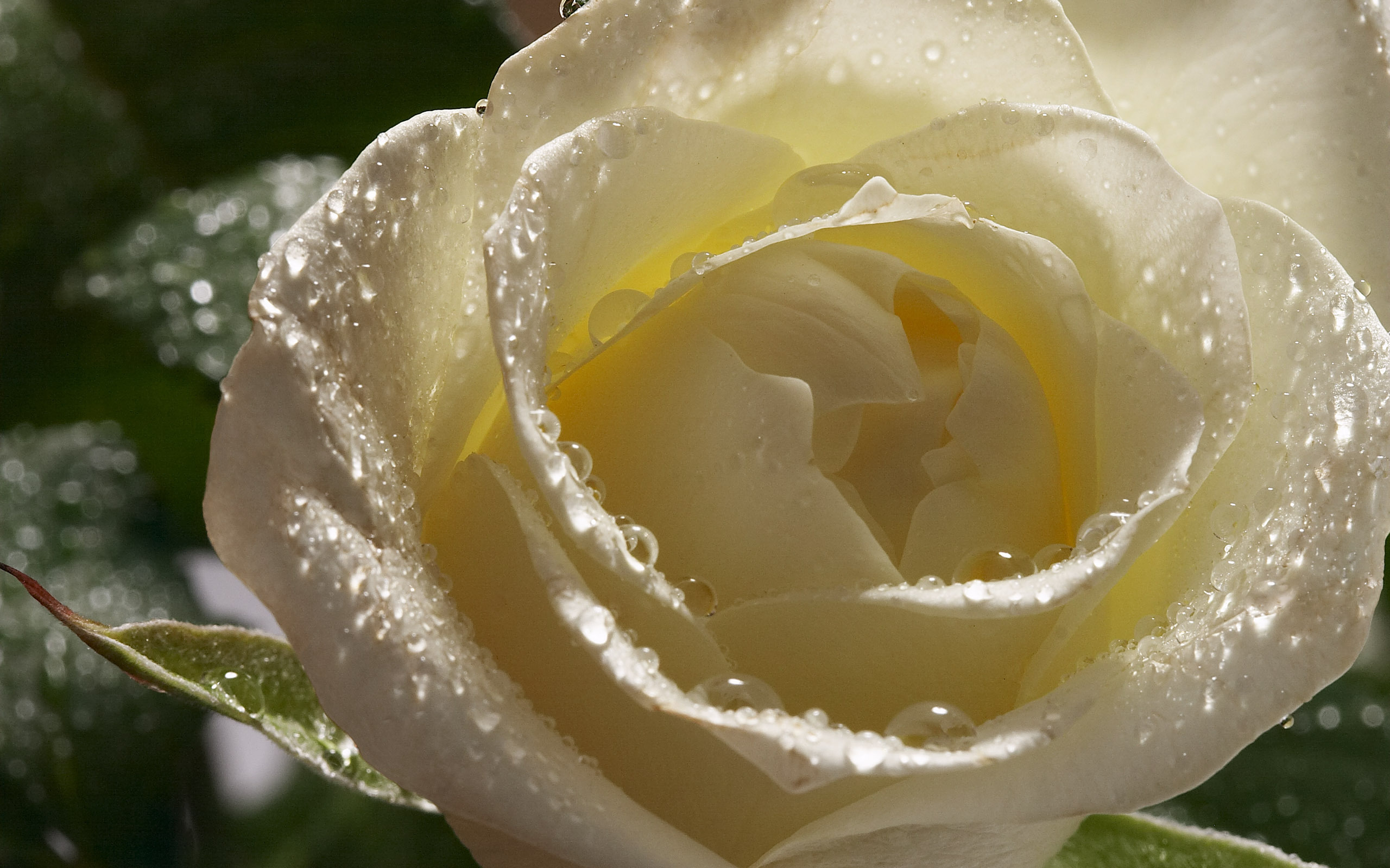 Nature Wallpaper With White Rose - Symbolizes True Love | HD ...
