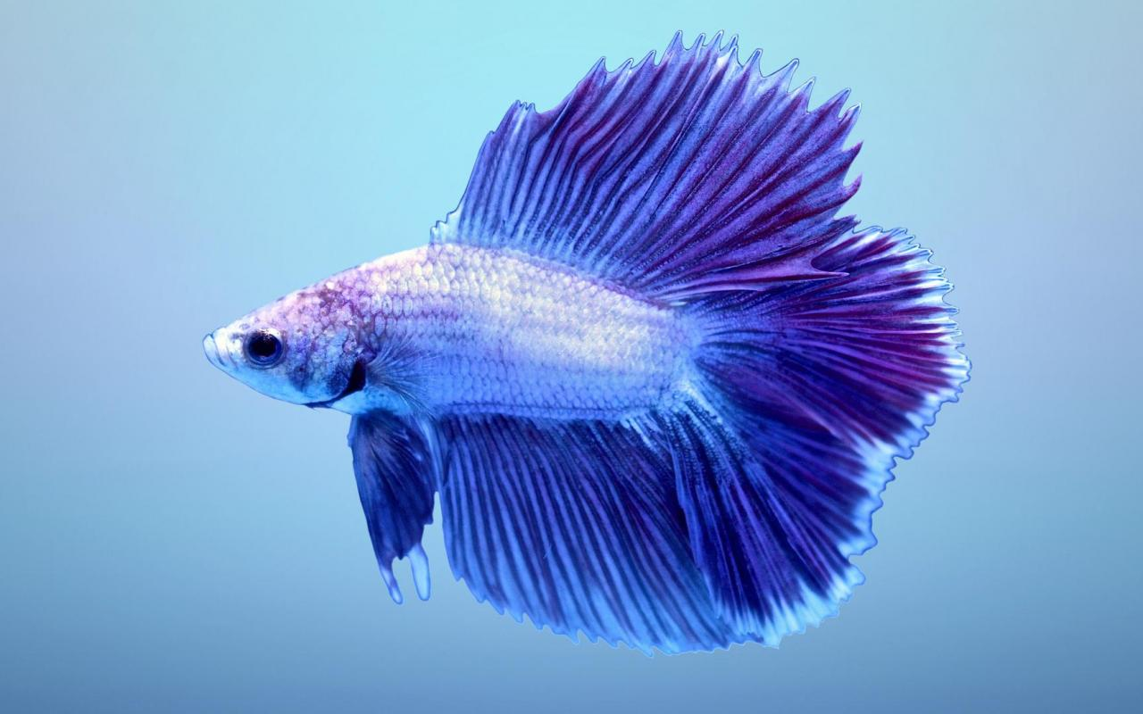 Halfmoon betta wallpaper 2 of 7 blue double tail for Blue betta fish