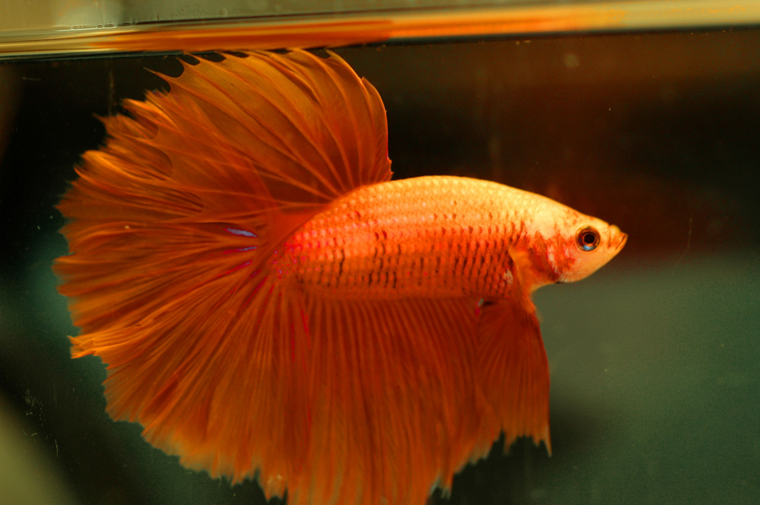 Betta Fish Colors Images >> Halfmoon Betta Wallpaper 4 Of 7 Orange ...