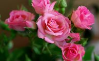 Attachment for Nature Wallpaper with Pink Rose Flower Pictures