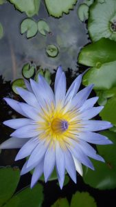 Attachment for Apple iPhone 6 Wallpaper with Natural Lotus Flower Photo