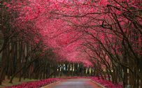 Blossoming trees with pink flowers for nature wallpaper