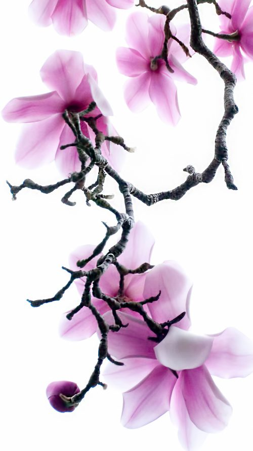 apple iphone 6s wallpaper with purple magnolia flowers