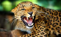 The Image Attachment of pictures of wild animals - Leopard Photo in Macro