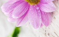 Attachment for Flower Wallpapers for Mobile Phones with 1440x2560 and 5 inch Screen Size