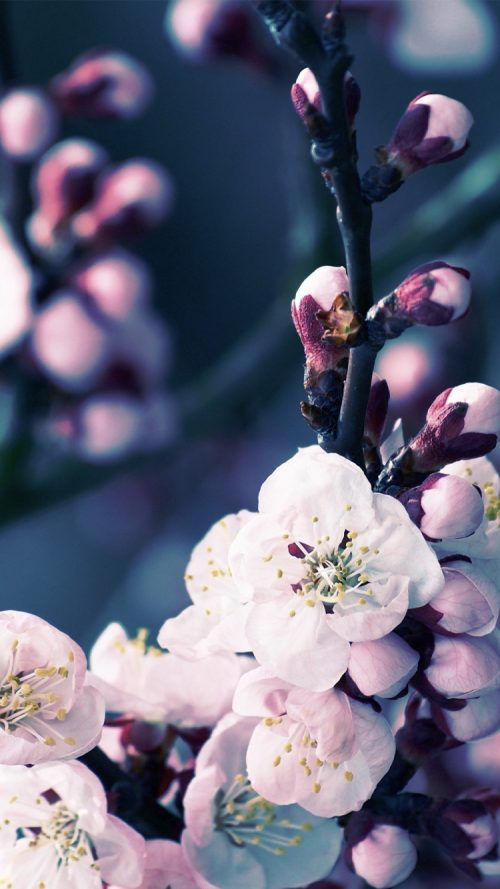 Apple IPhone 6s Wallpaper With Cherry Blossom Flower