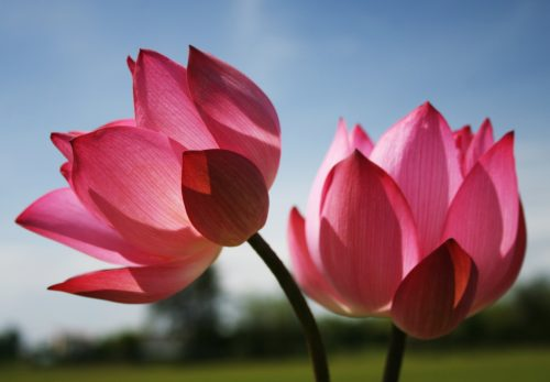 Images of flowers with pink lotus flower for beautiful nature beautiful nature wallpaper with two lotus flowers in pink mightylinksfo Image collections