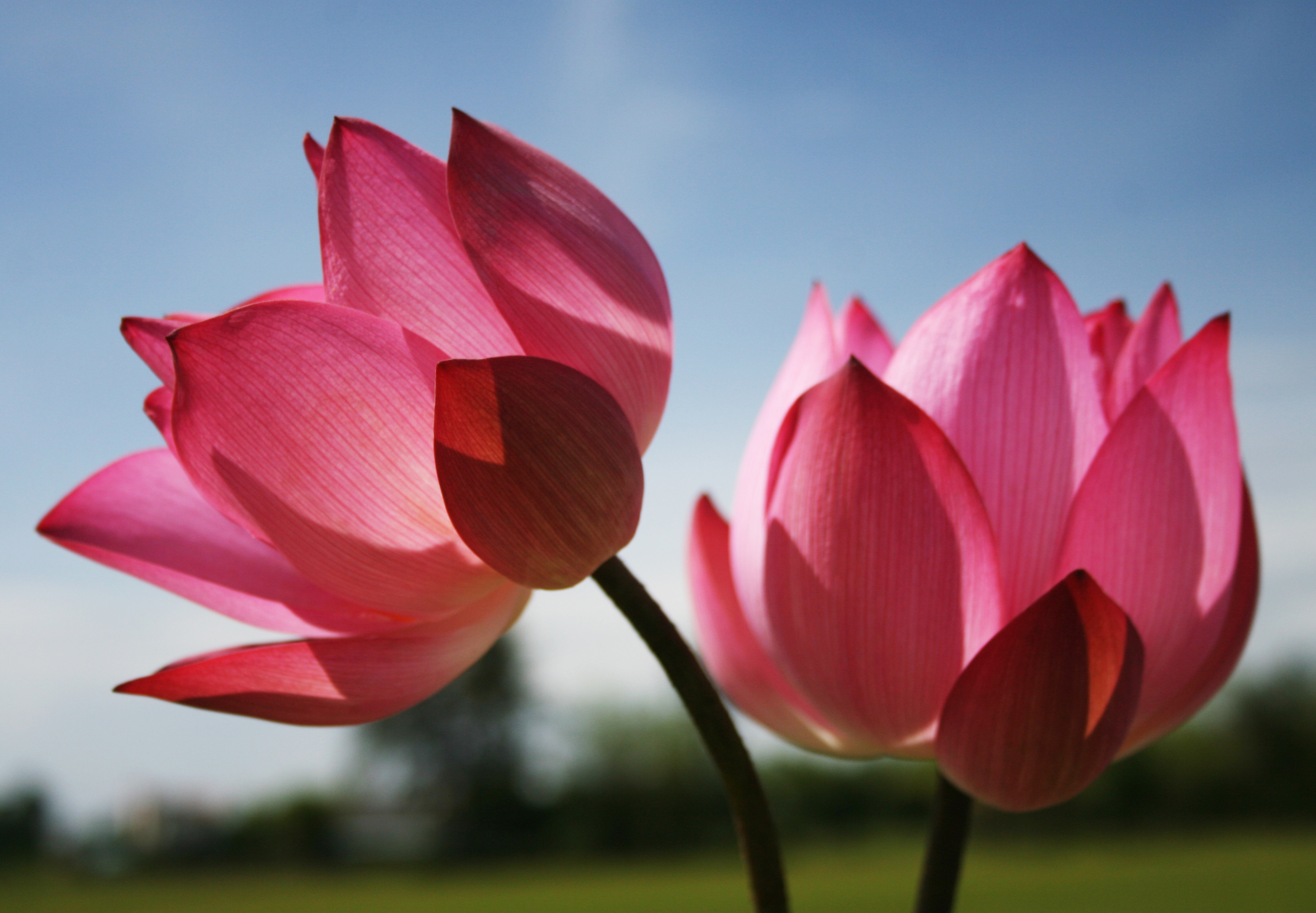 Images of Flowers with Pink Lotus Flower for Beautiful ...