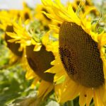 Sunflower for flower wallpaper in macro photo