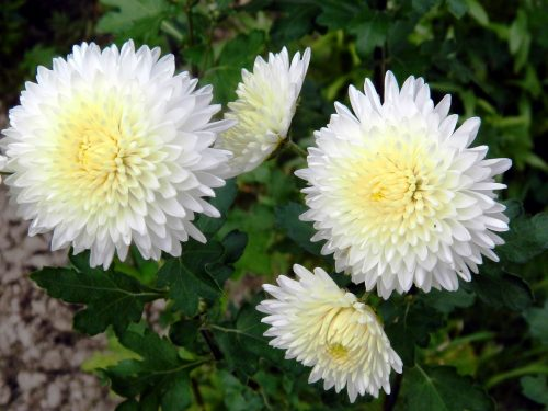 Beautiful Nature Wallpaper with White Chrysanthemum Flower in High Resolution