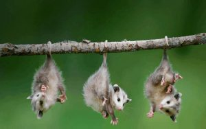 Cute Baby Animals - Three Hanging Baby Opossums