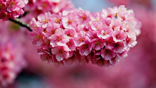 Attachment picture for Desktop Background Pictures of Flowers with Cherry Blossoms in Summer