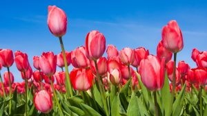 Nature wallpaper desktop spring flower with red tulips