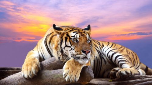 Attachment image of High Resolution Animal Wallpaper - Tiger in Wild