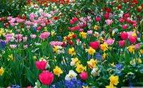 Attachment for spring wallpaper with all color tulips